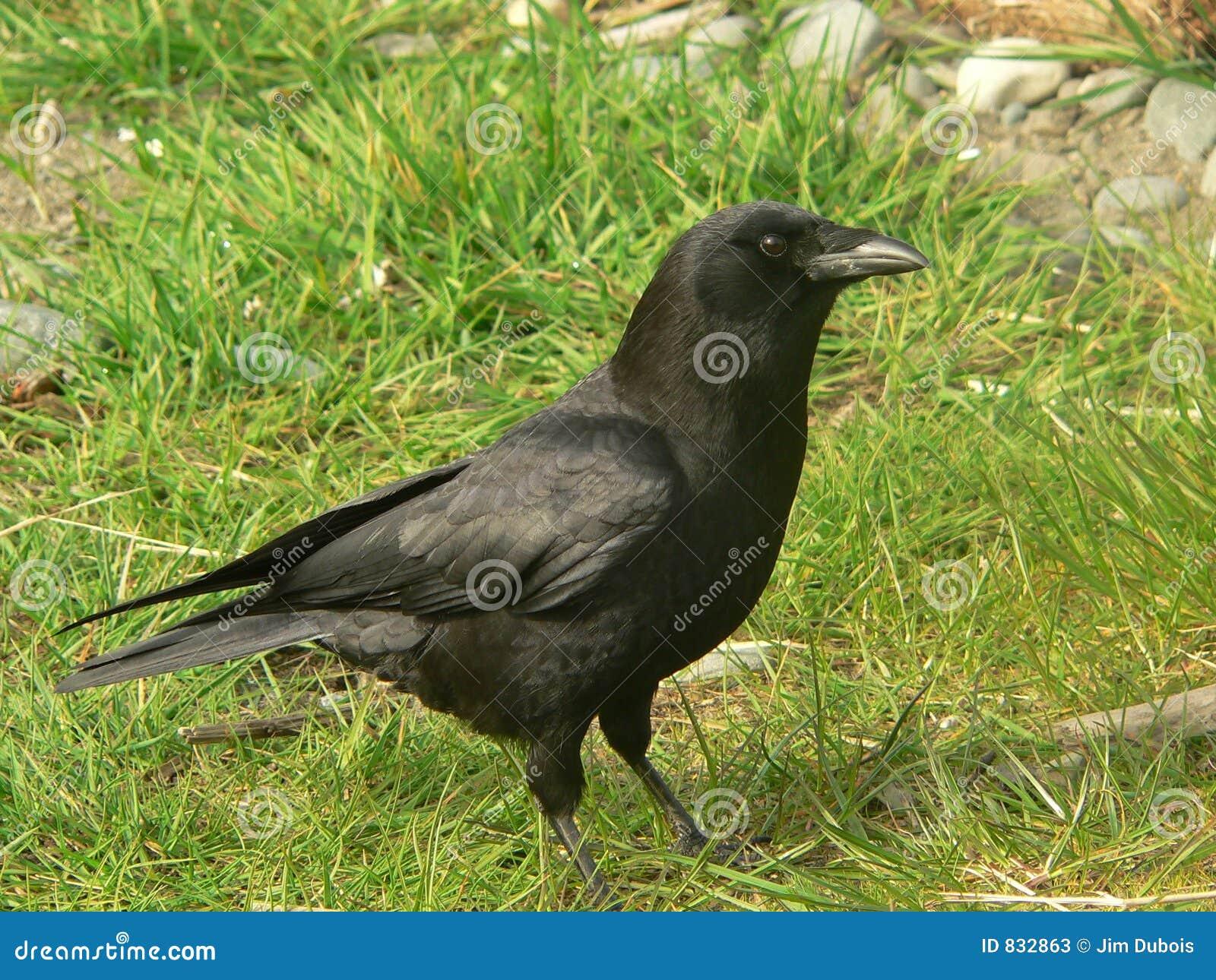 Common crow.