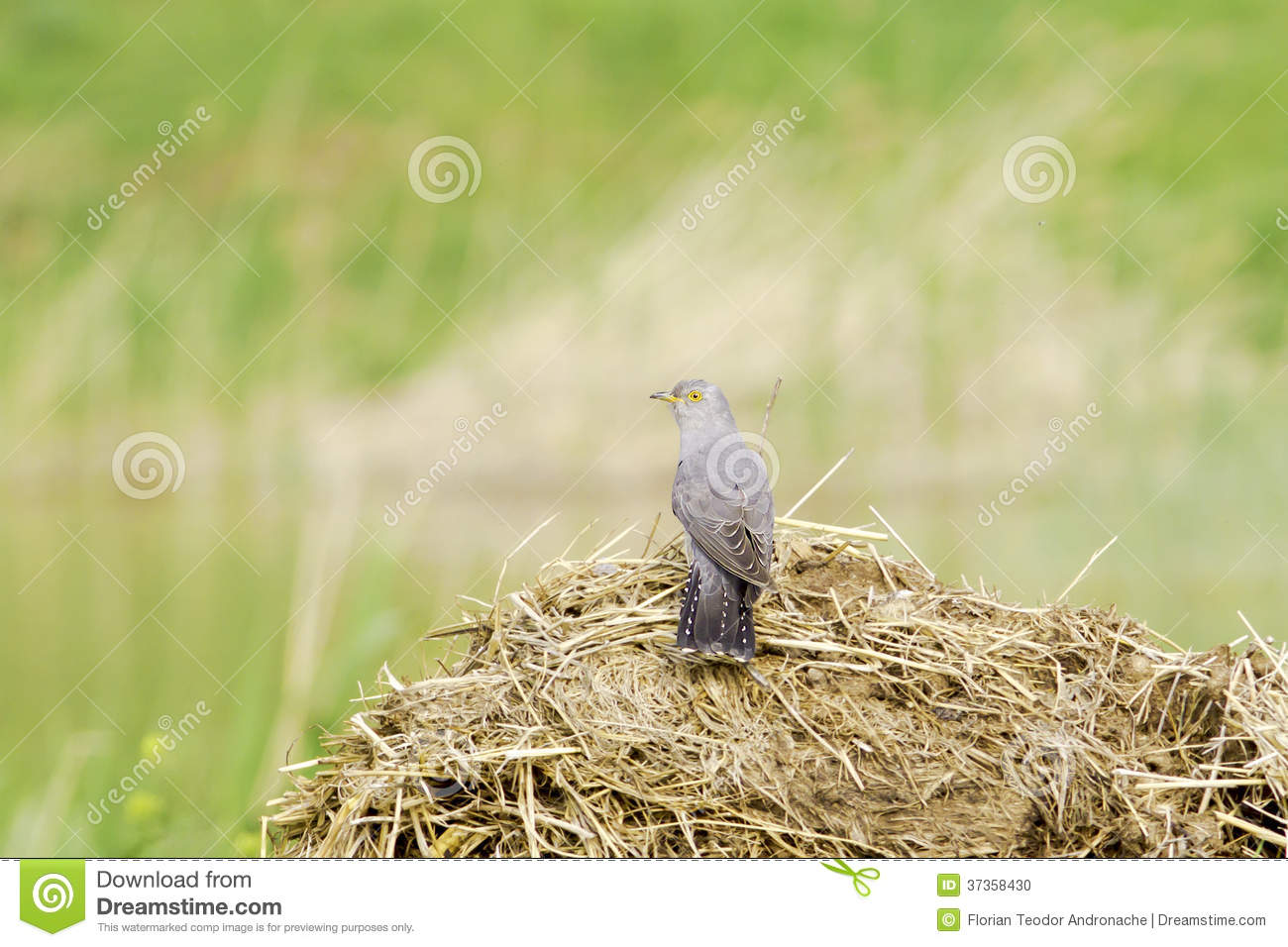 Common Cuckoo Cuculus Canorus European Cuckoo Stock
