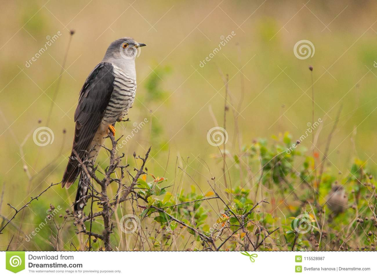 Common cuckoo Cuculus canorus sitting on a barbed branch