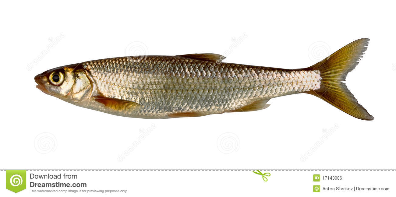 Freshwater fish dace - Common Dace Royalty Free Stock Image
