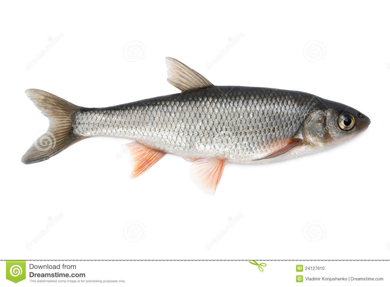 Freshwater fish dace - Common Dace Stock Photo