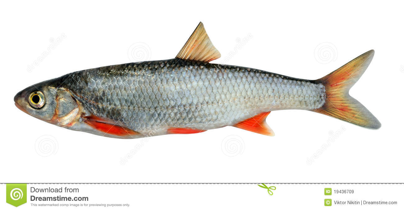 The common dace (Leuciscus leuciscus), also known as the dace or the ...