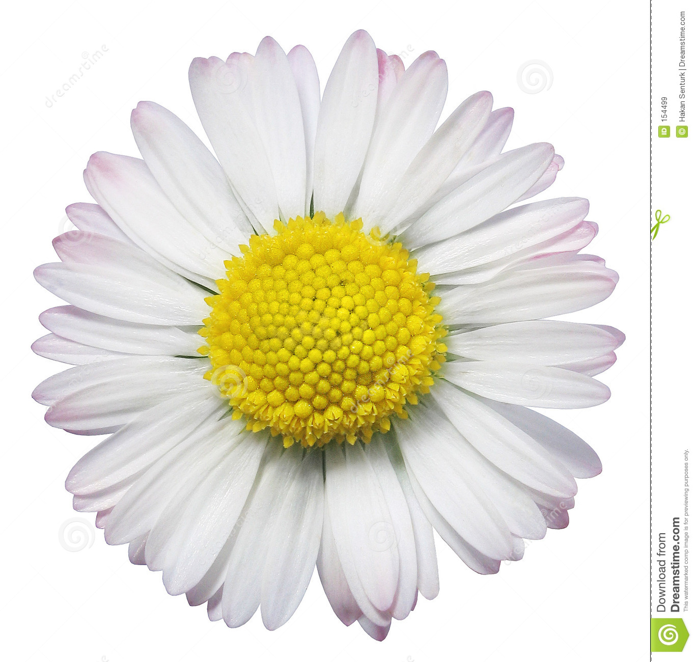 Common daisy flower stock image image of daisy petals 154499 common daisy flower izmirmasajfo Gallery