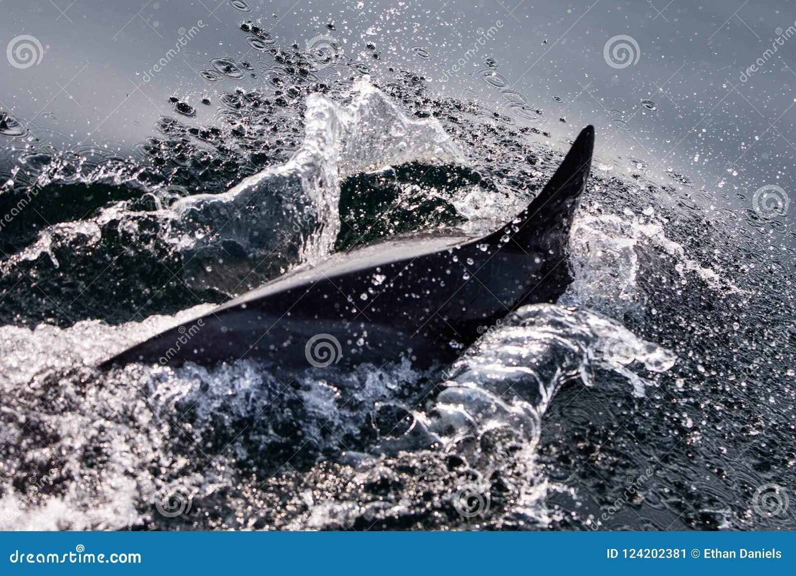 Common Dolphin Swimming In Atlantic Ocean Stock Image