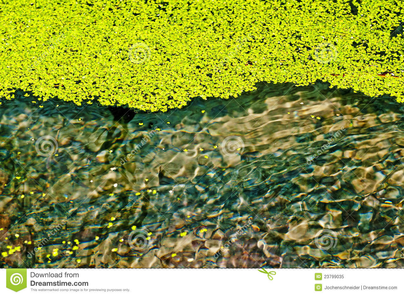 Common Duckweed, Lemna Minor Royalty Free Stock Photo ...