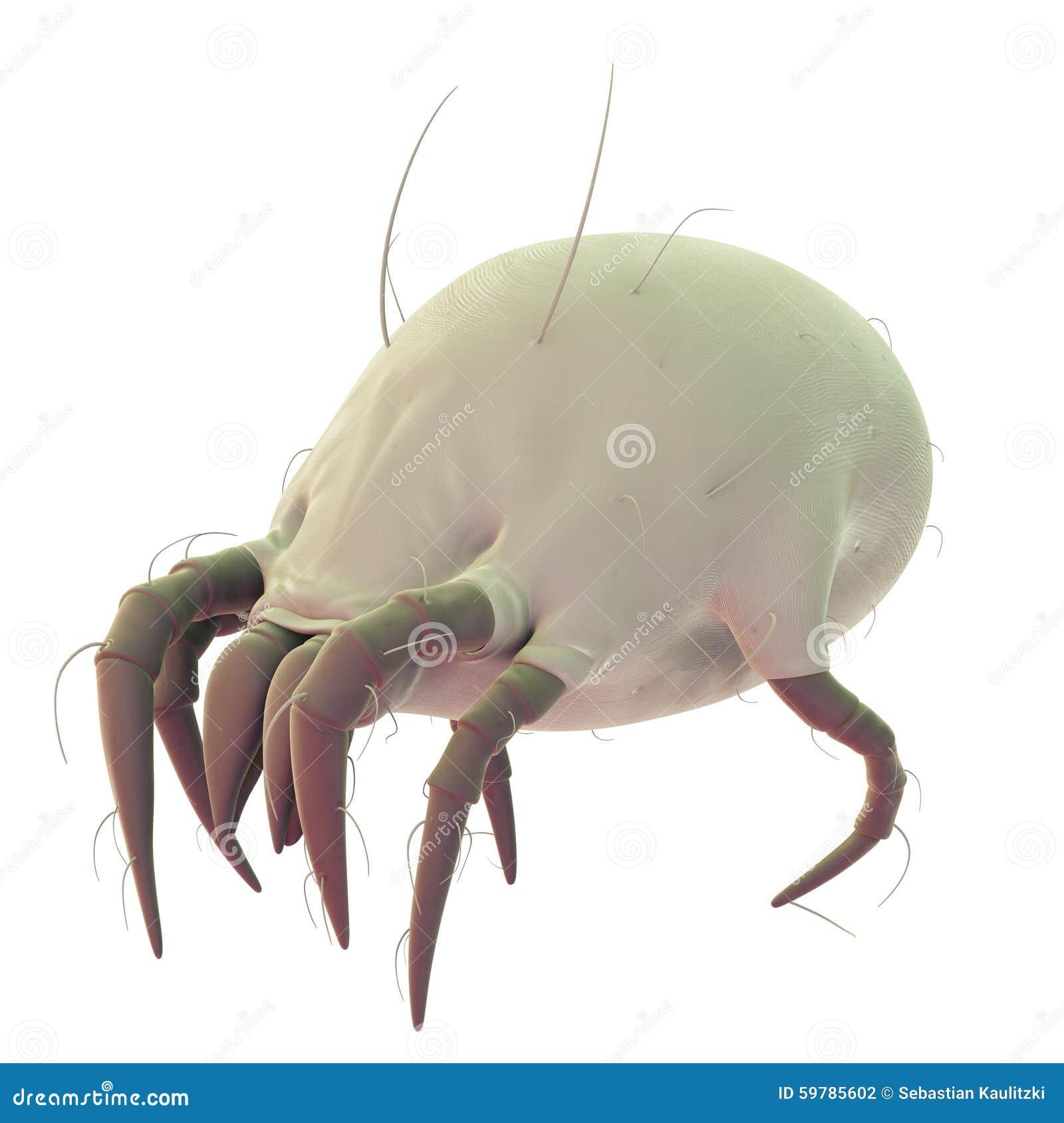 A common dust mite