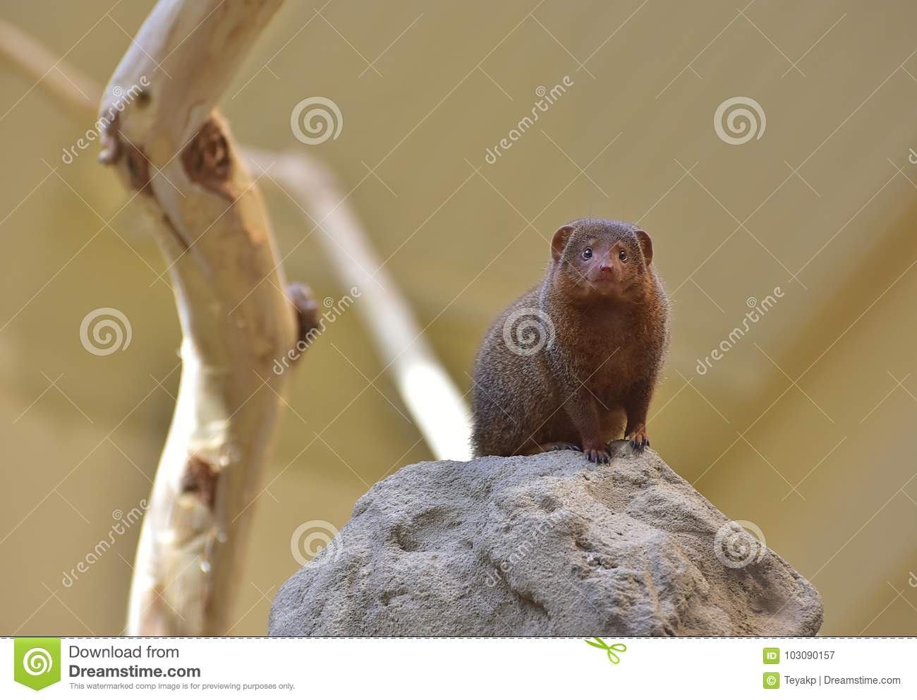 The common dwarf mongoose