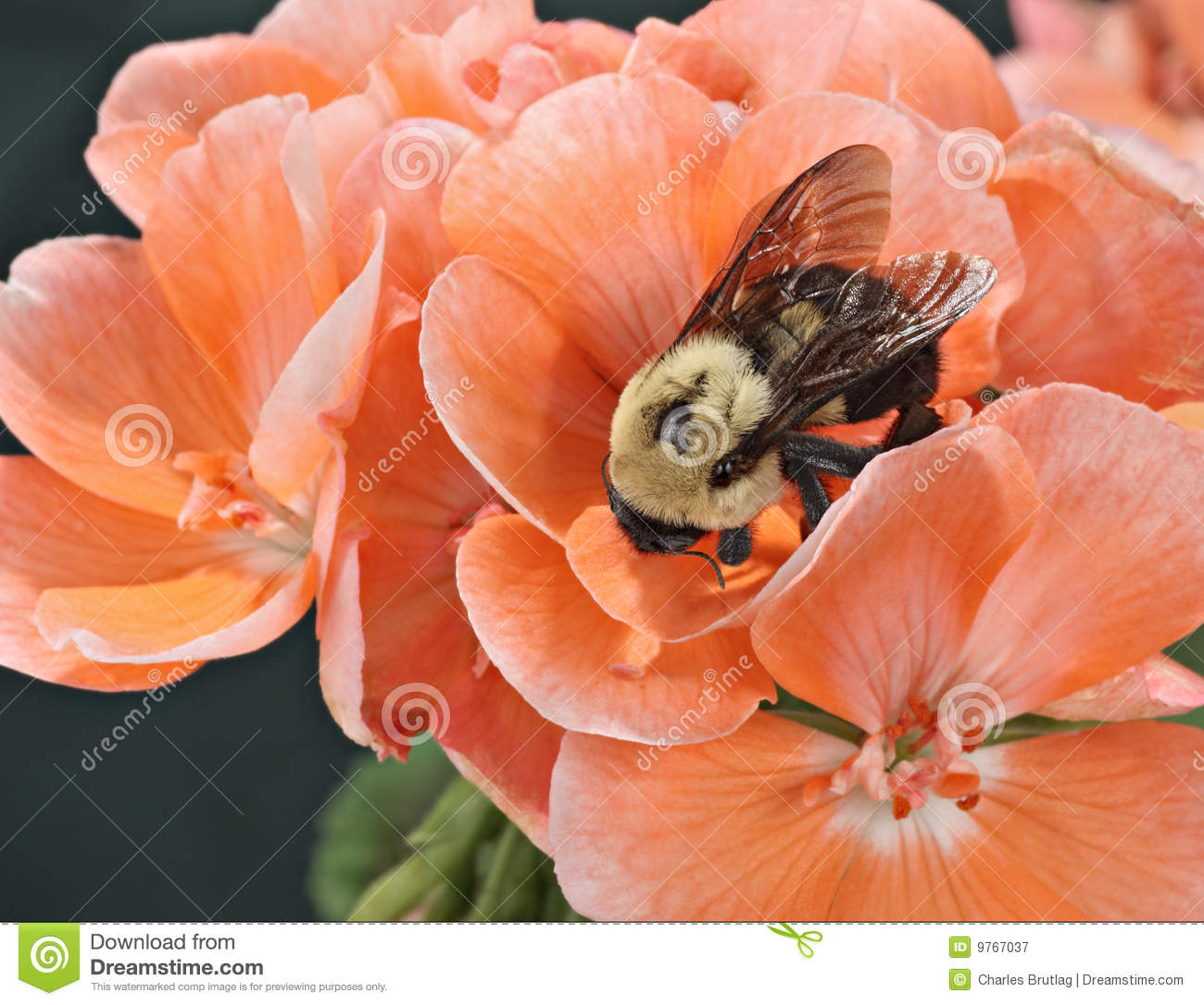 Download Common Eastern Bumble Bee (Bombus Impatiens) Stock Image - Image of entomology, common: 9767037