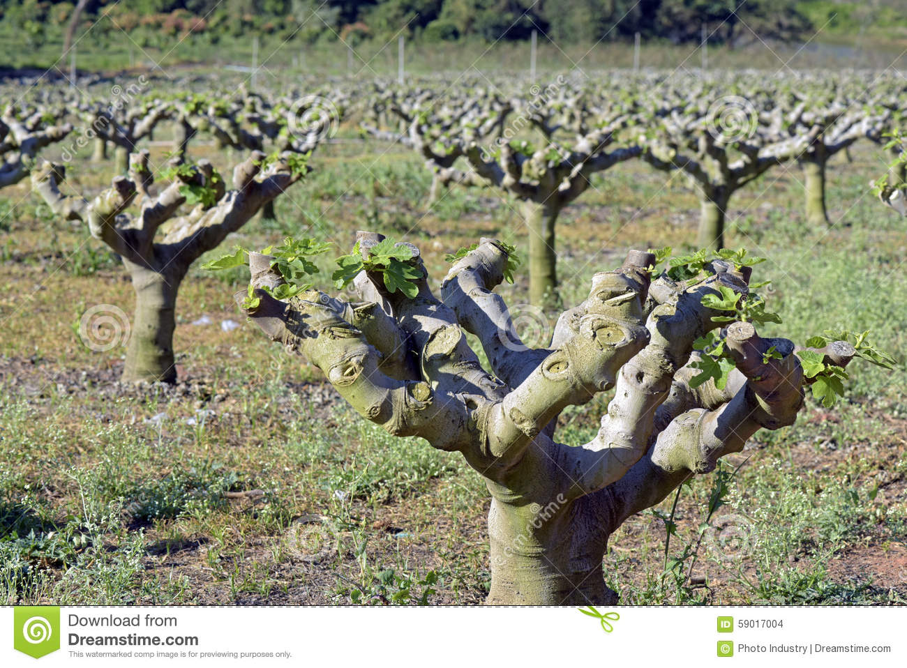 Common Fig Plantation Stock Photo - Image: 59017004