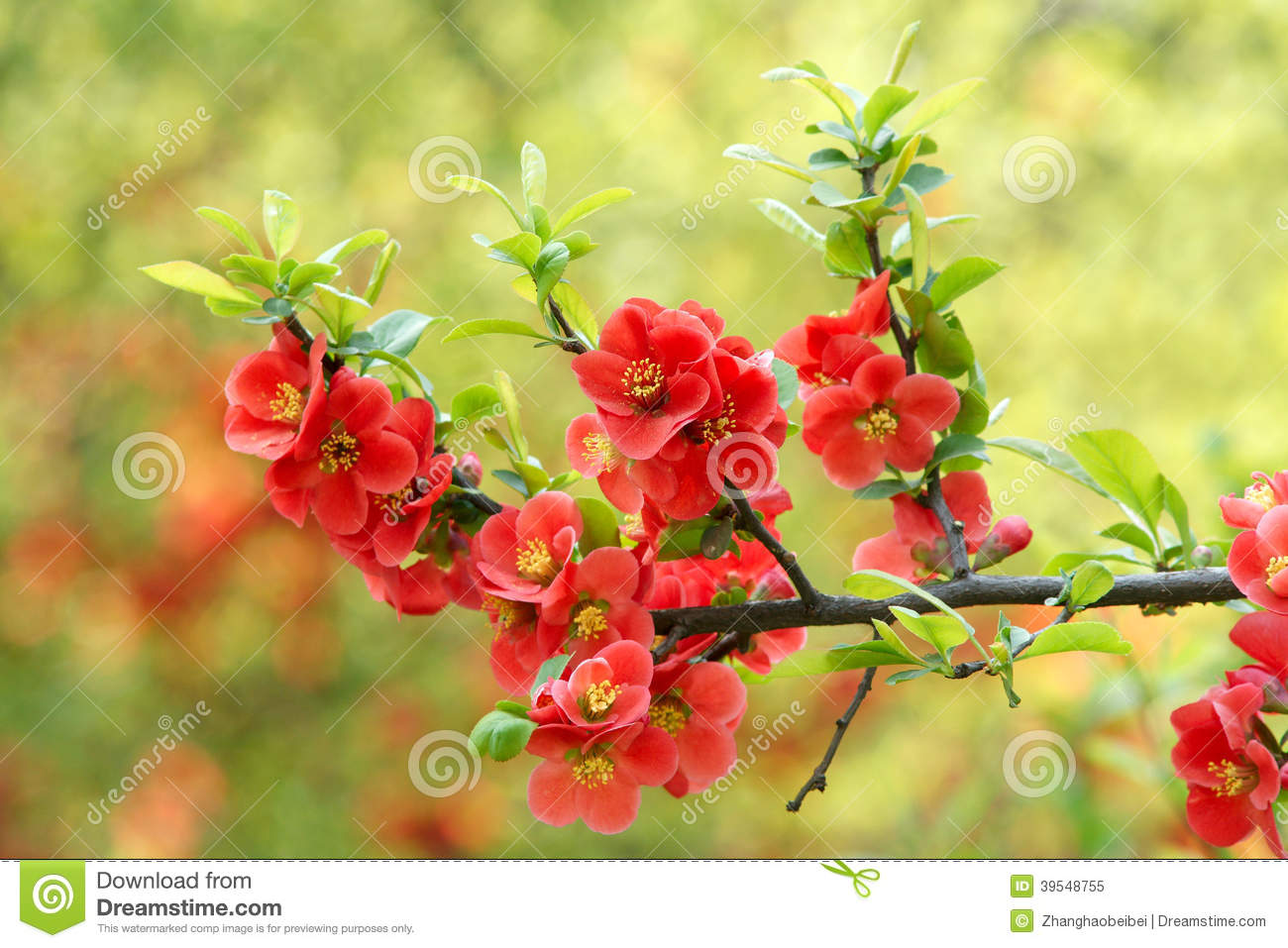 common flowering quince stock photo - Quince Flower