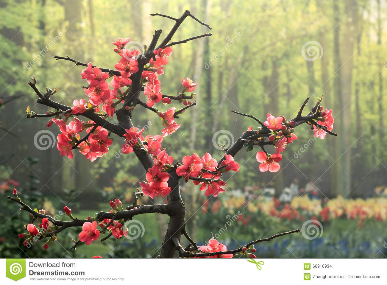 common flowering quince - Quince Flower