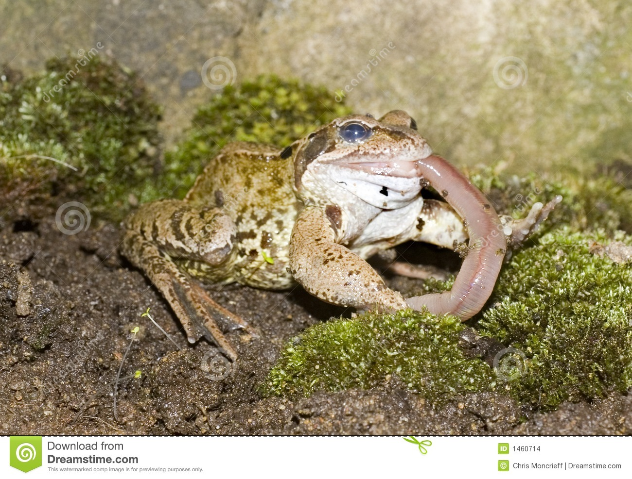 common frog eating stock photo image of amphibian  animals 1460714 Cute Cartoon Frogs Cute Cartoon Frogs