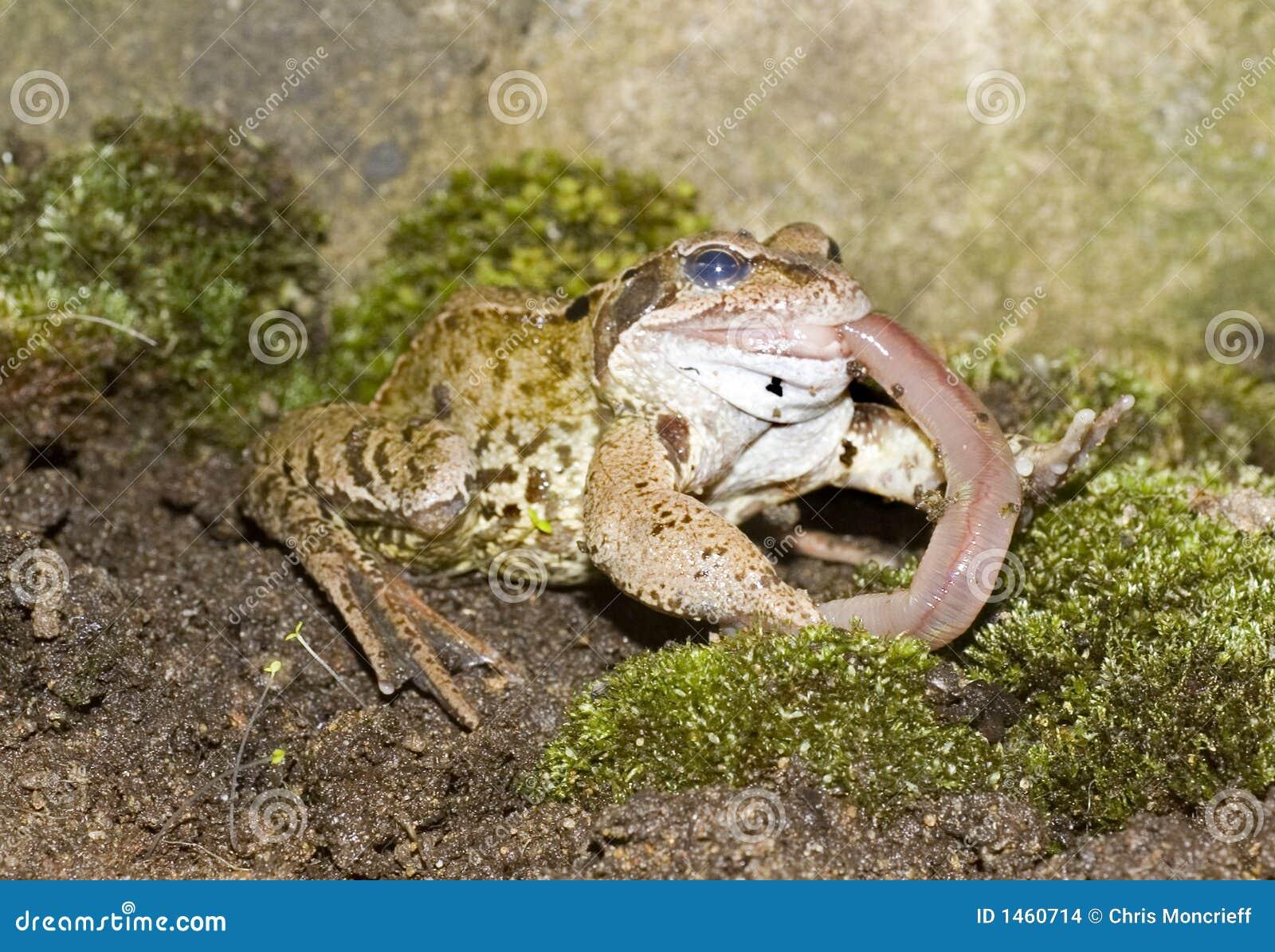 Common Frog Eating stock photo. Image of amphibian ...