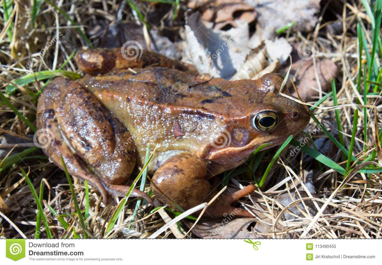 Common frog in the wild on the dry leaves in grass
