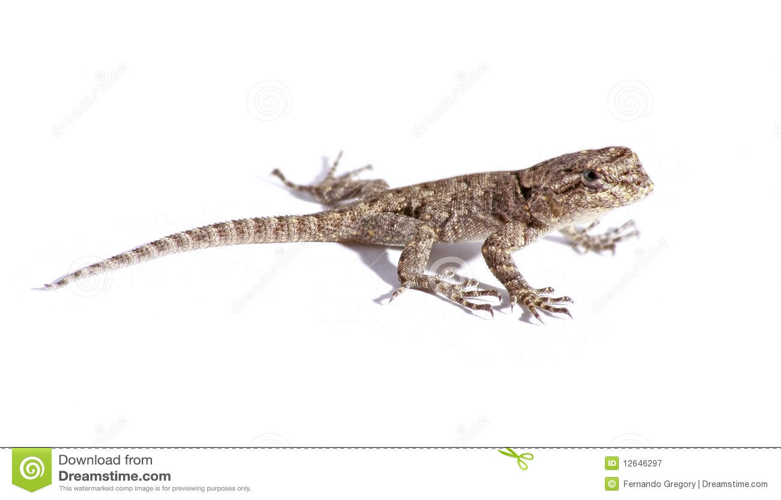 common garden lizard isolated on white - Garden Lizard