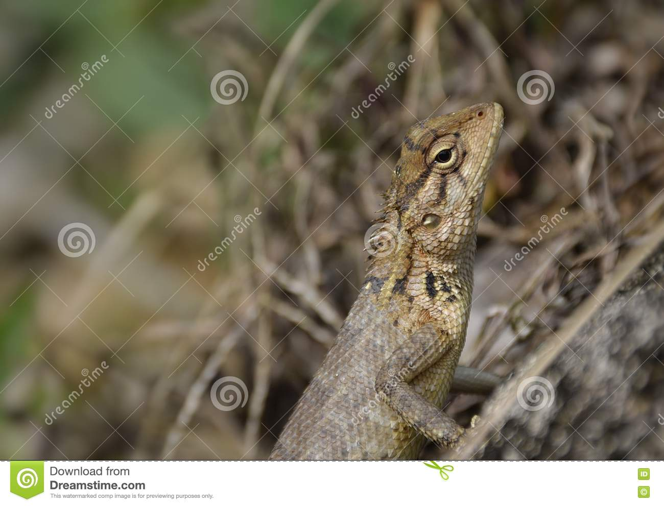 Common Garden Lizard stock photo. Image of quietly, basking - 75734998