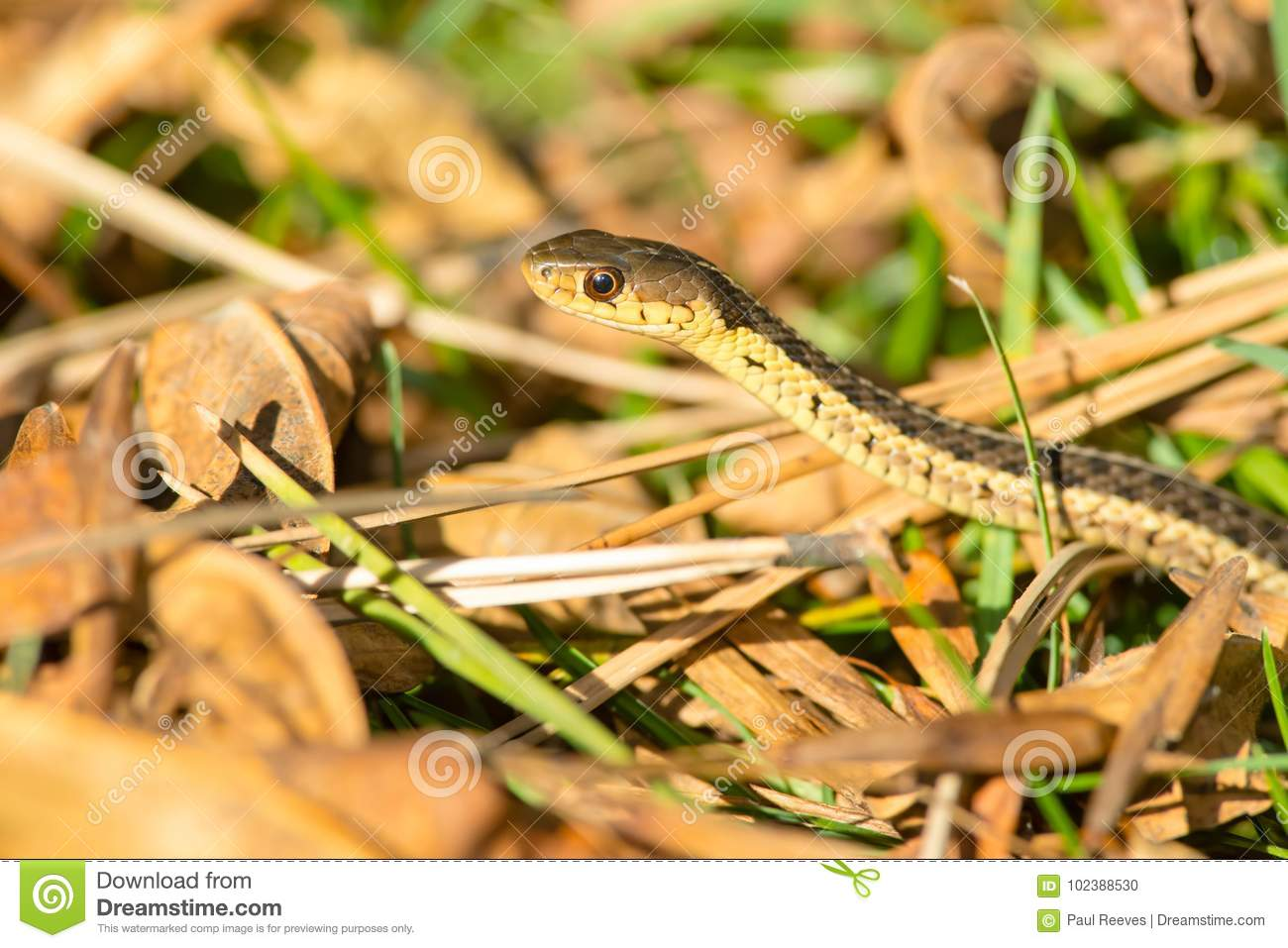 Download Common Garter Snake - Thamnophis Sirtalis Stock Photo - Image of urban, outdoors: 102388530