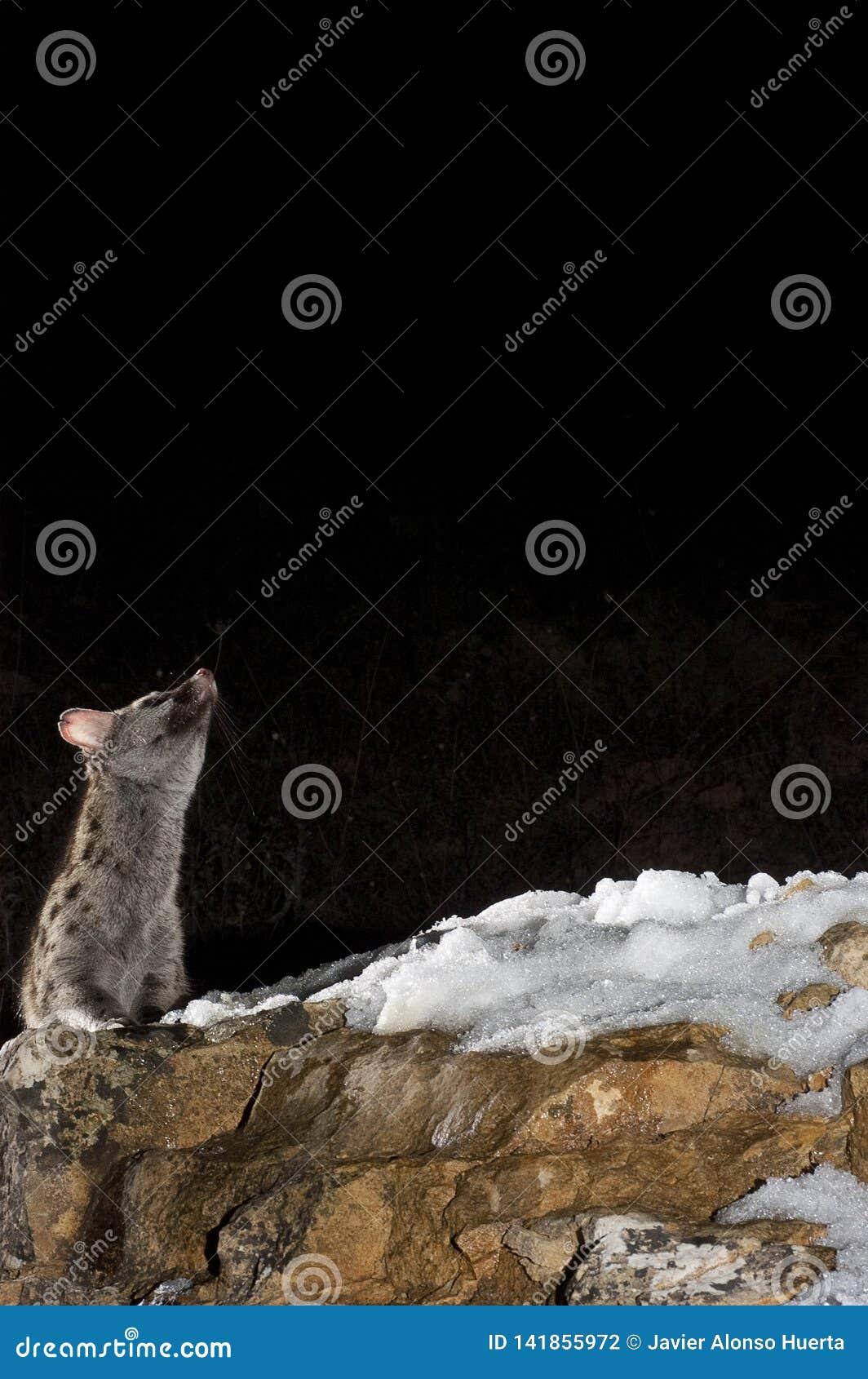 Common genet - Genetta genetta, on a rock with snow