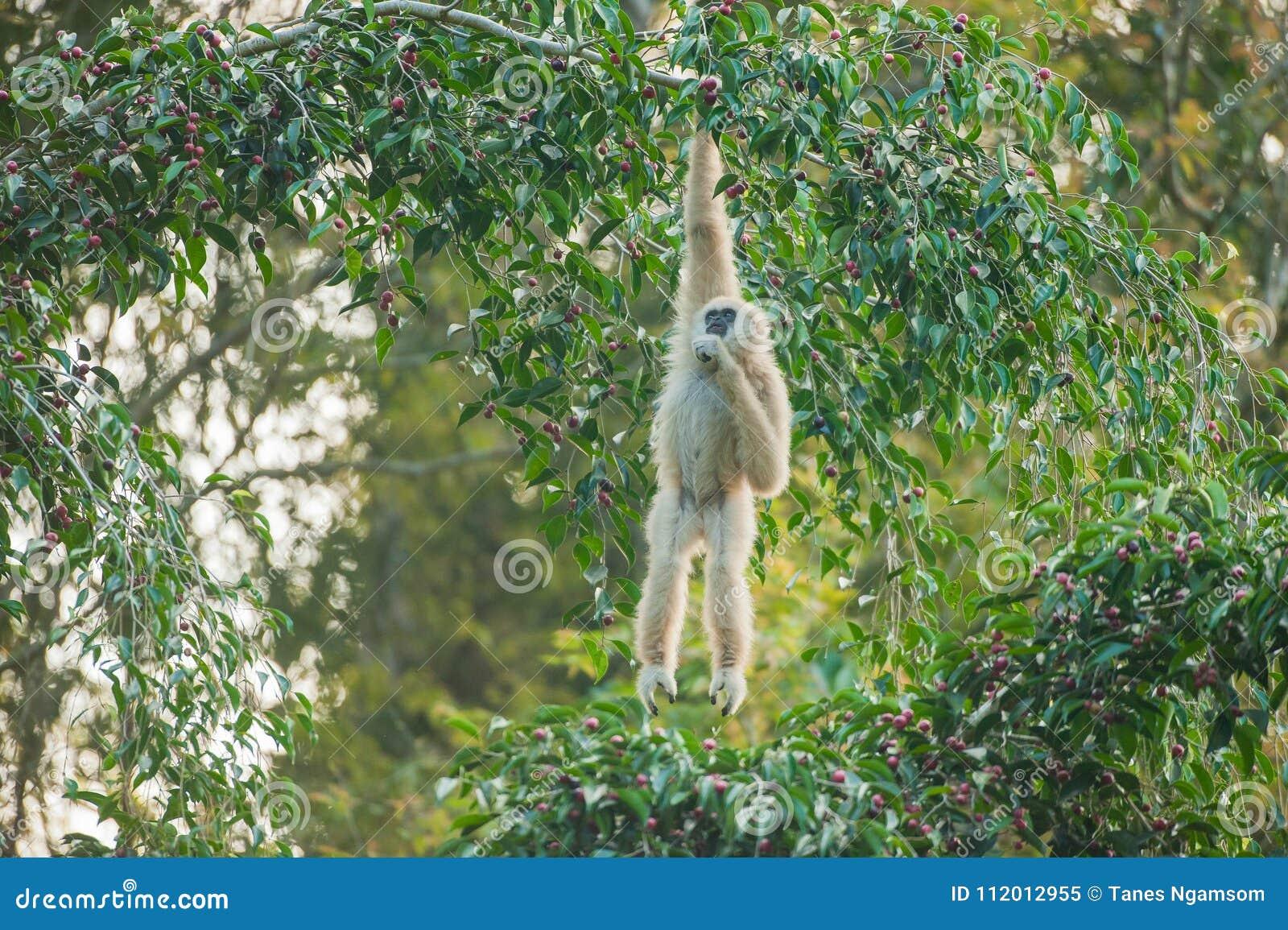 Common Gibbon