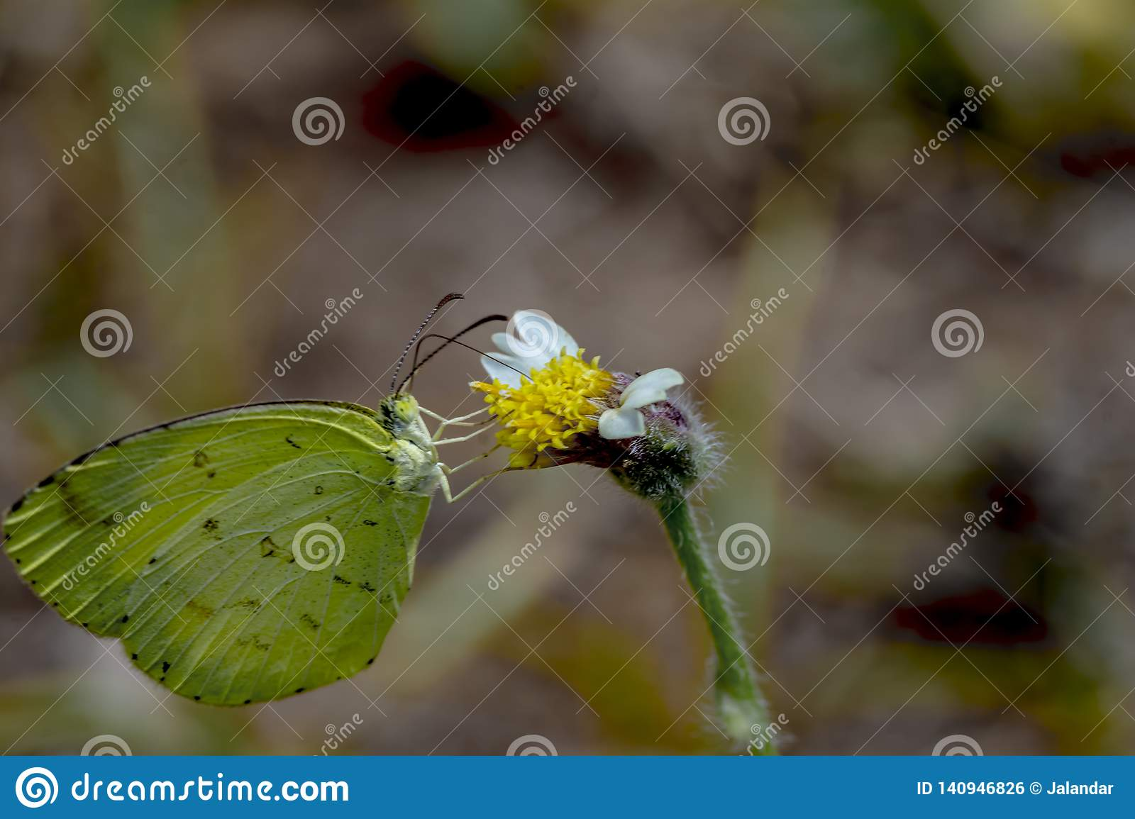 common grass yellow butterfly or Eurema hecabe