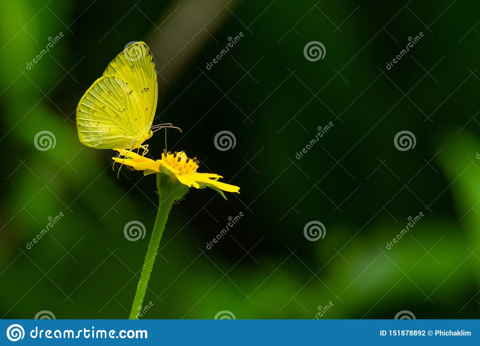 Common Grass Yellow butterfly useing its probostic to collect the nectar from the flower