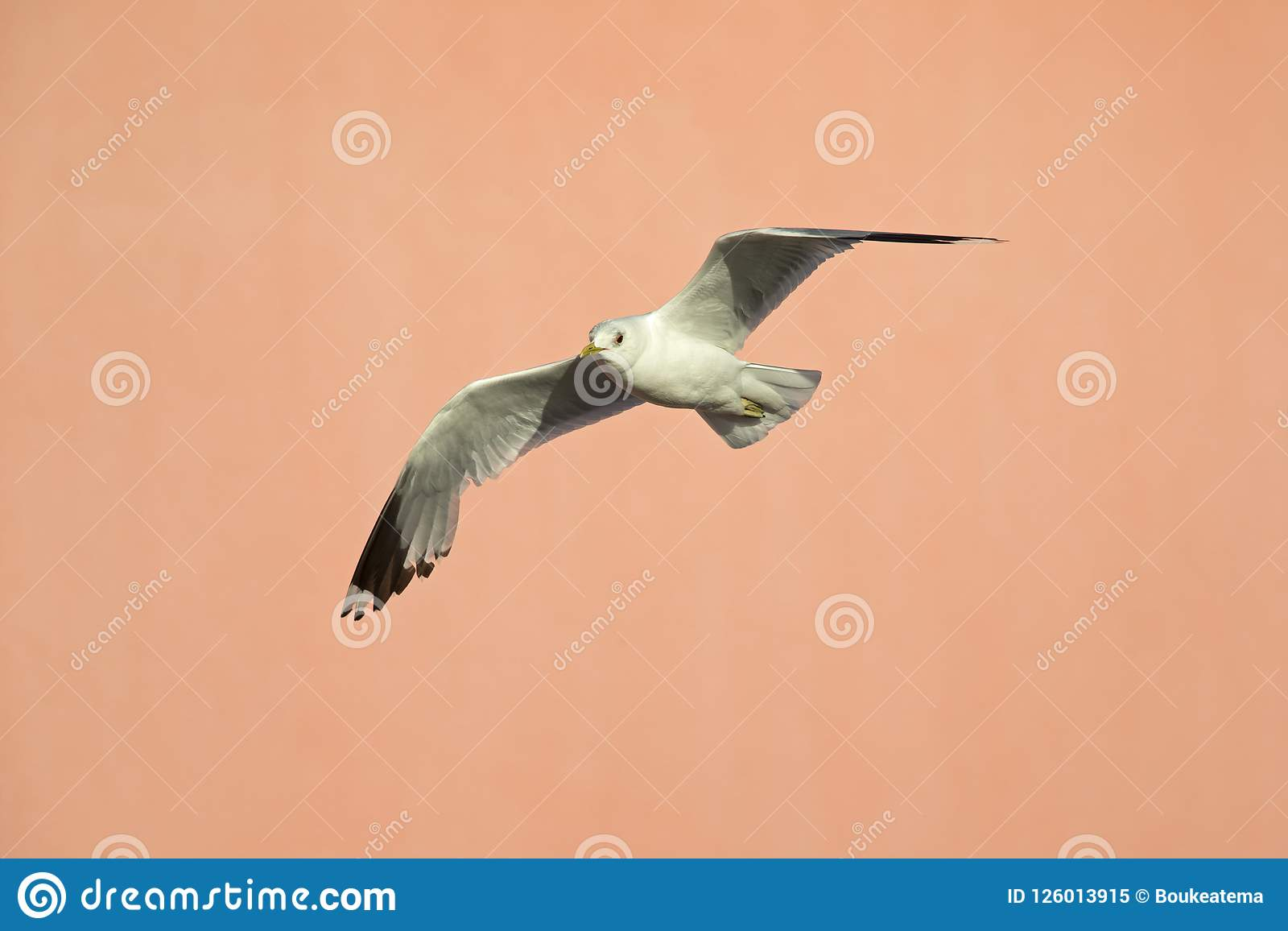 A common gull Larus canus flying infront of a pink building in the ports of Bremen Germany.