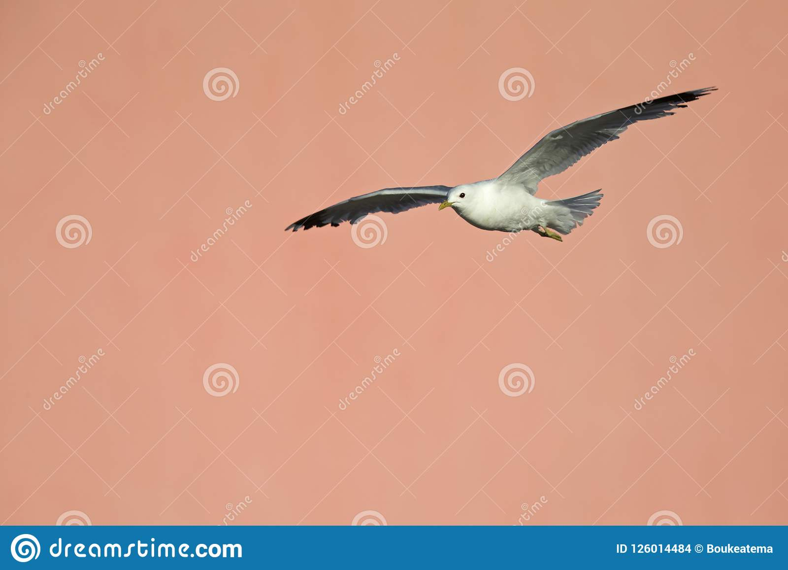 A common gull or mew gull Larus canus flying infront of a concrete pink wall in the ports of Bremen Germany.