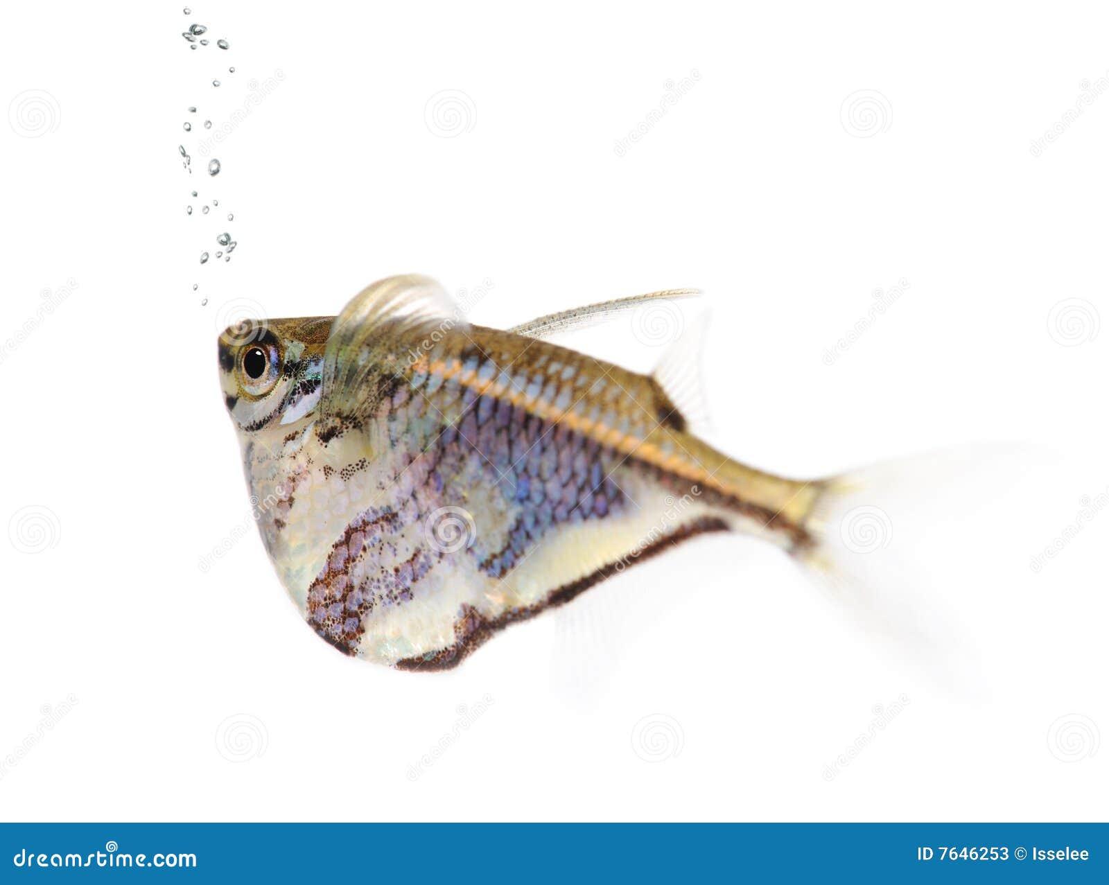 Common Hatchetfish - Gasteropelecus Sternicla Stock Photos - Image ...
