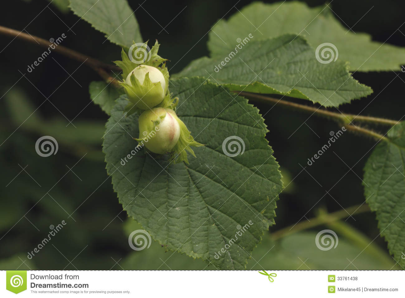 Common hazel, Corylus avellana,