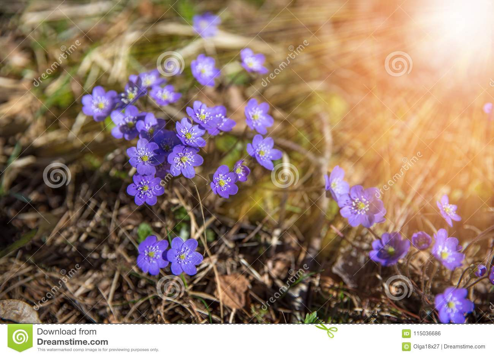 Common Hepatica Hepatica Nobilis In Gardenfirst Spring Flower