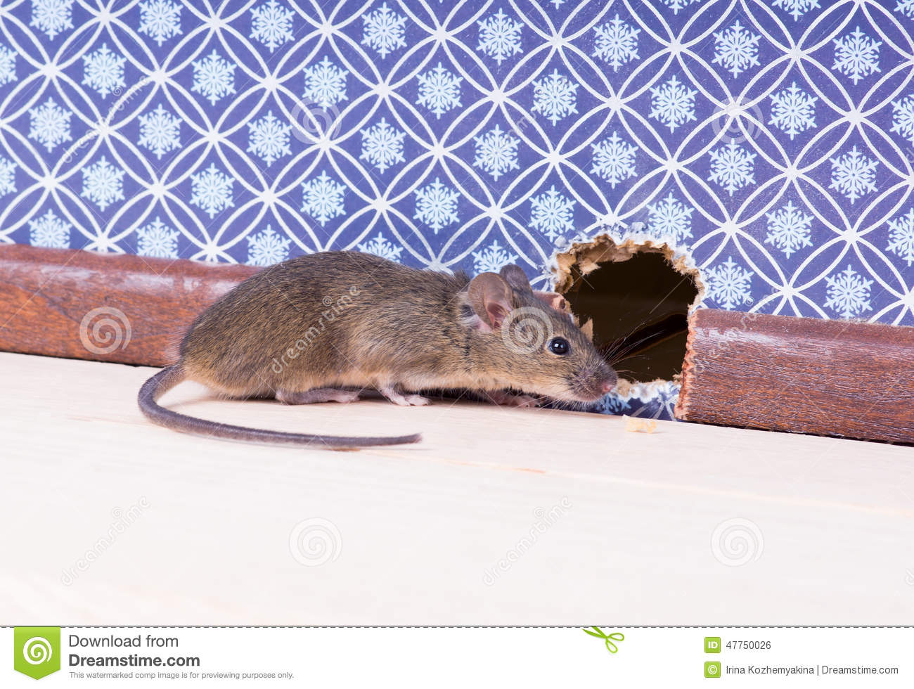 A common house mouse mus musculus in the wall near the for Mouse house music