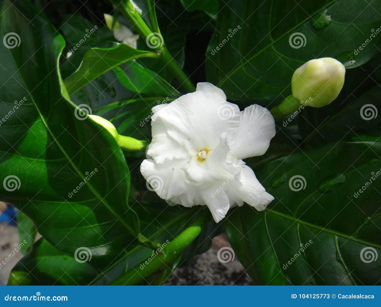 Common Jasmine Flower Stock Image Image Of Farming 104125773