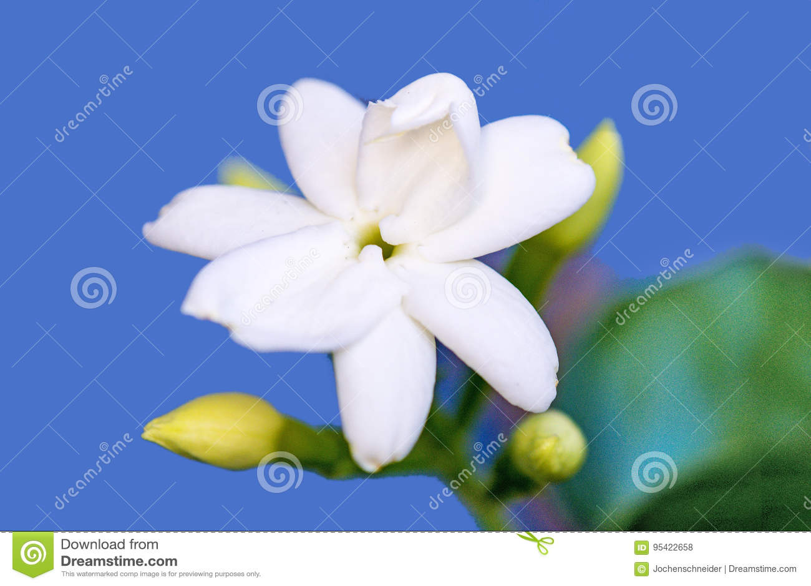 Common jasmine flower closeup stock photo image of flower common jasmine flower closeup of the perfume plant izmirmasajfo