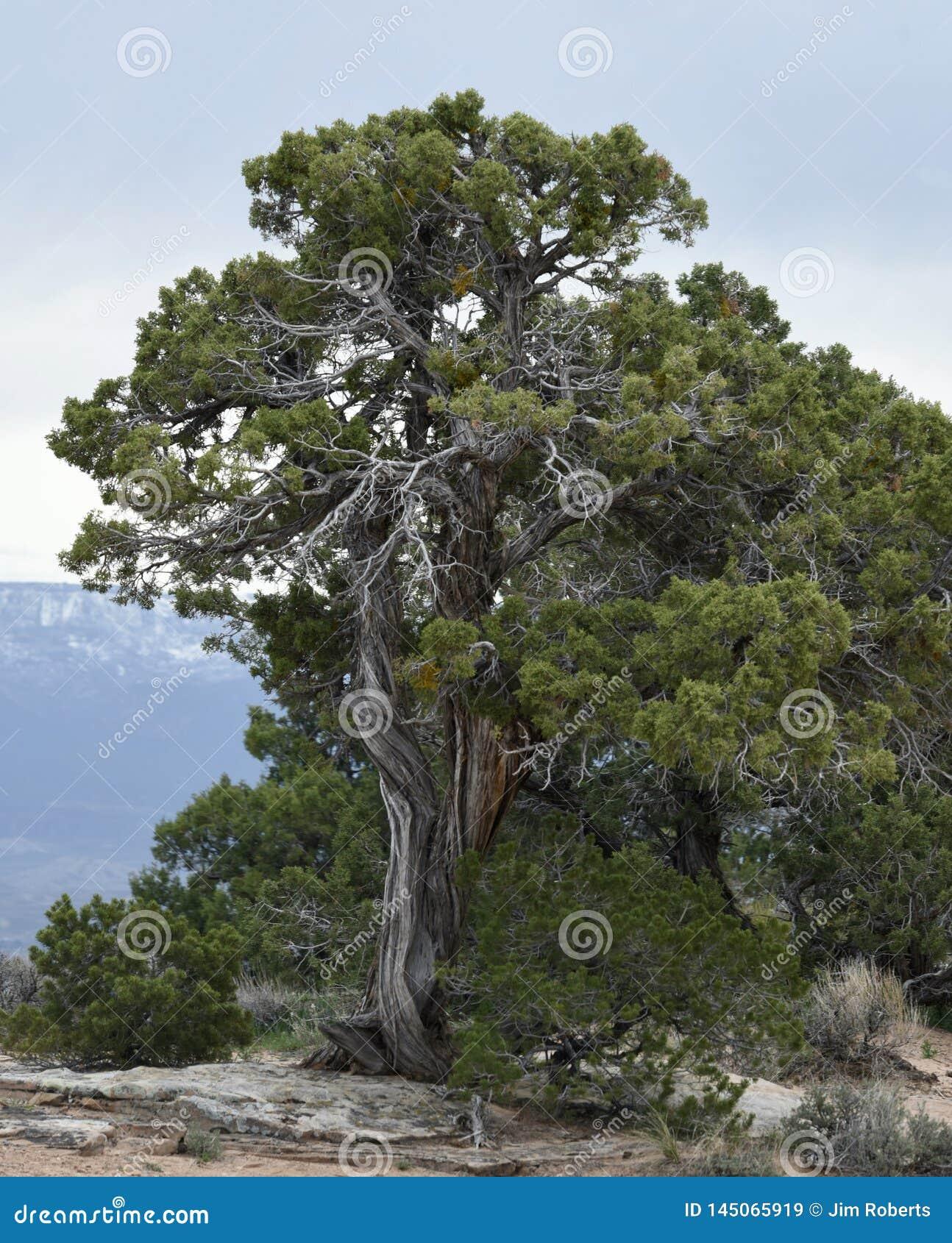 A Common Juniper Tree