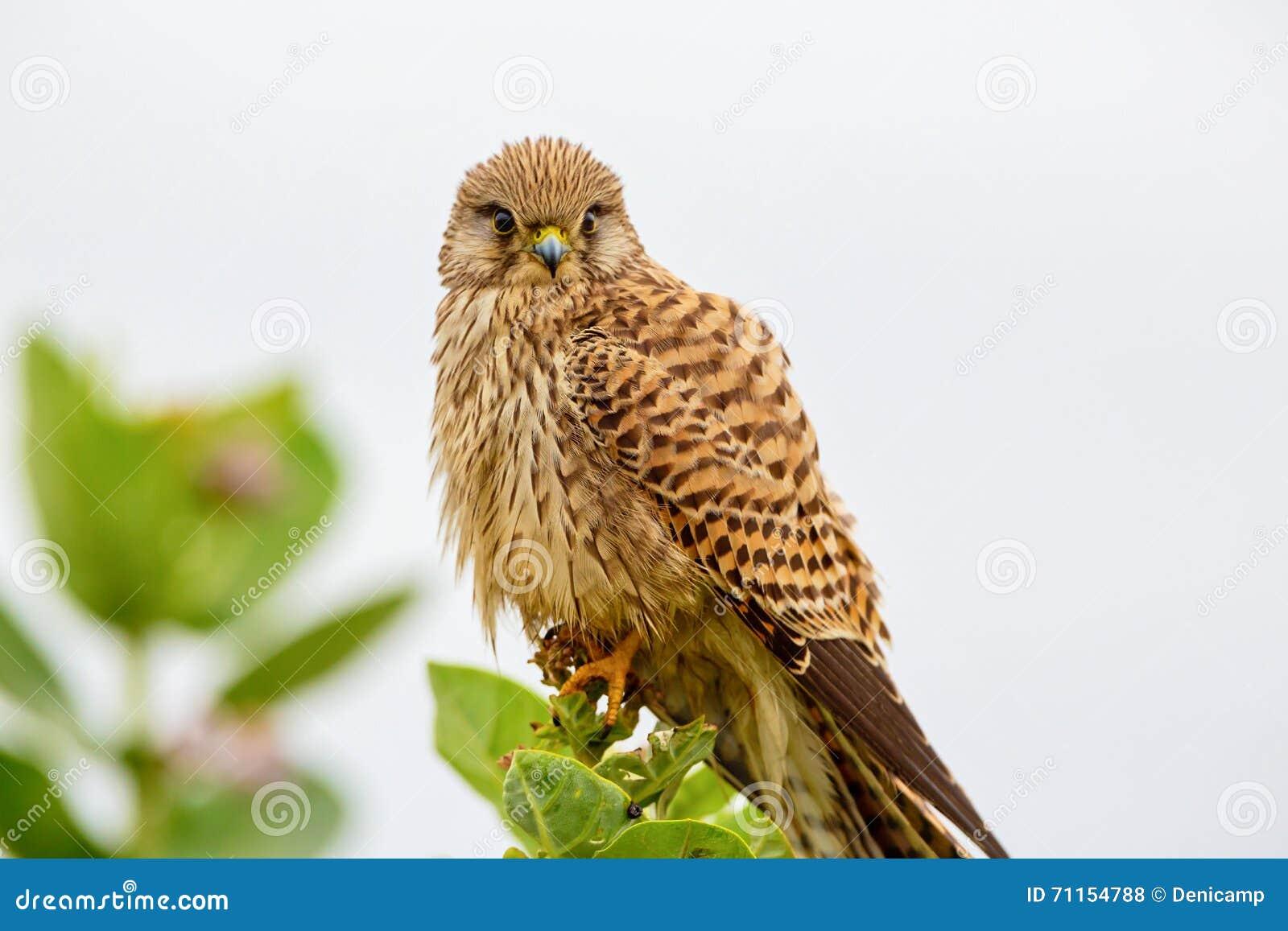 Common Kestral India  stock photo  Image of male, falcon - 71154788