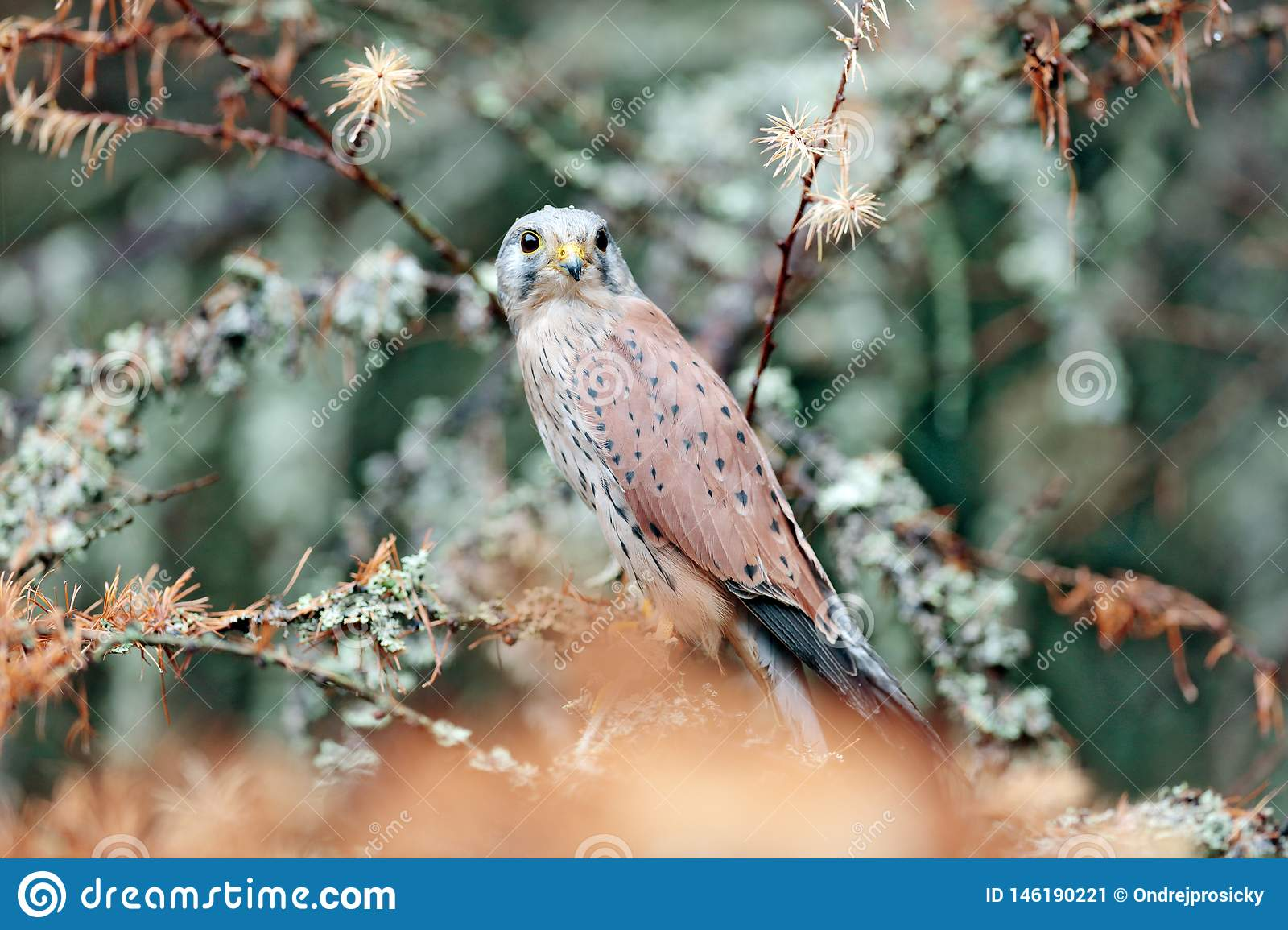 Common Kestrel, Falco tinnunculus, little bird of prey sitting in orange autumn forest, Germany. Larch tree with fall dawn leaves
