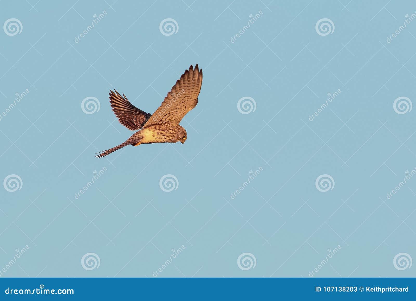A Common Kestrel, hovering flight.