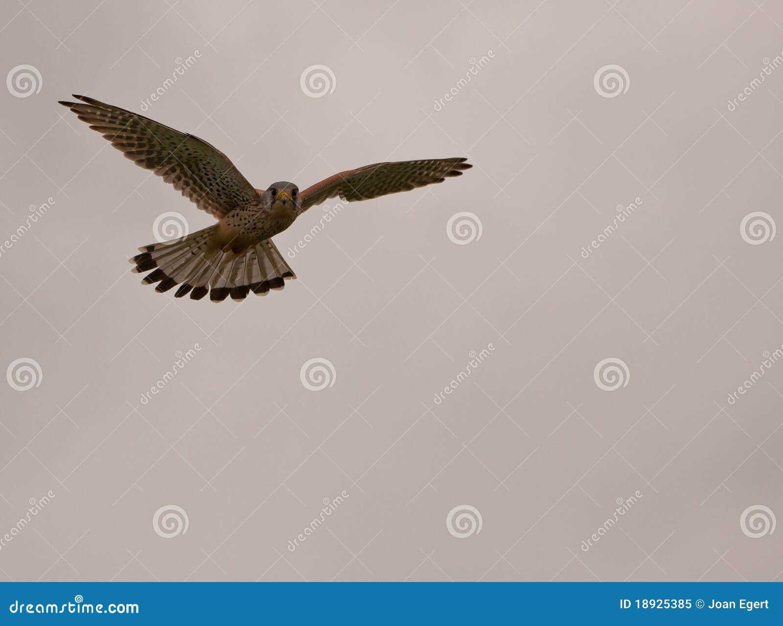 Common Kestrel hovering at sundown
