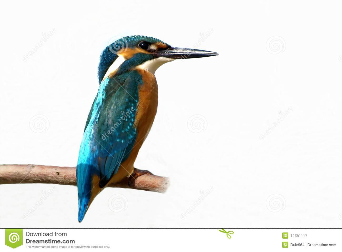 common kingfisher isolated on white background royalty Ducks in a Row Clip Art Cartoon Pond of Water