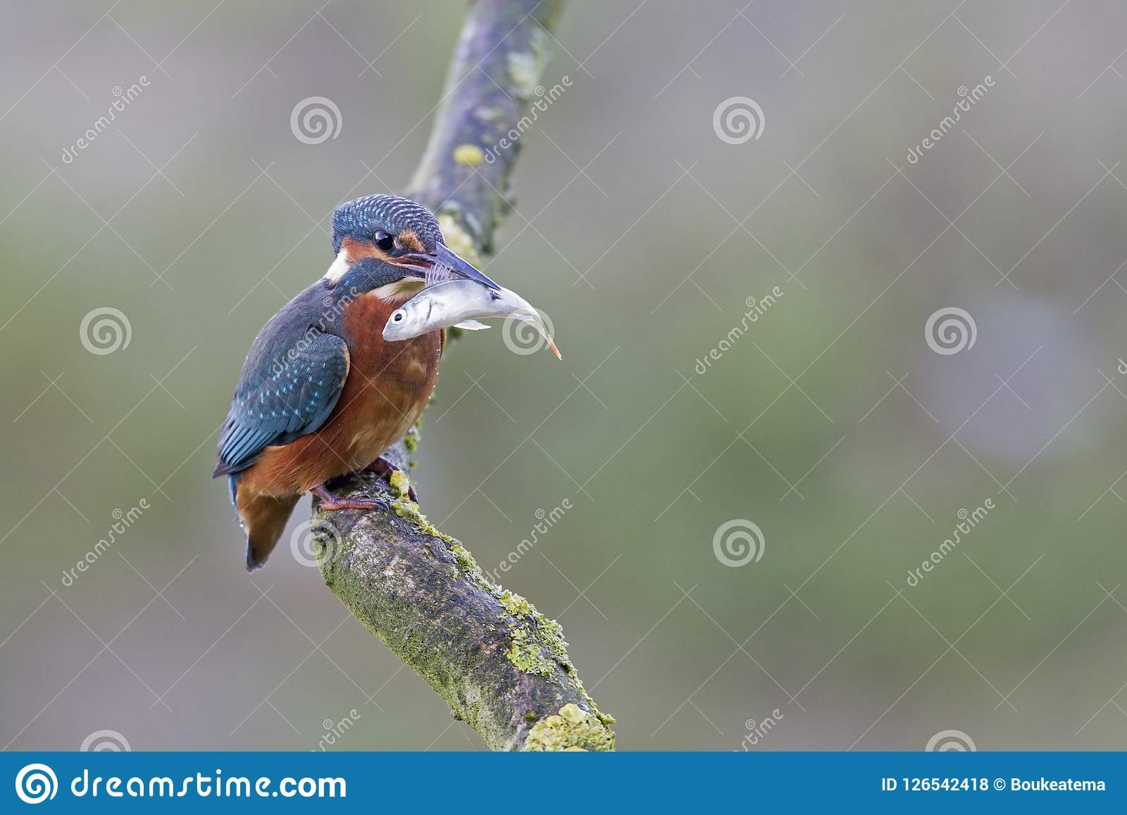 A Common Kingfisher alcedo atthis perched on a branch with a small fish in its beak.