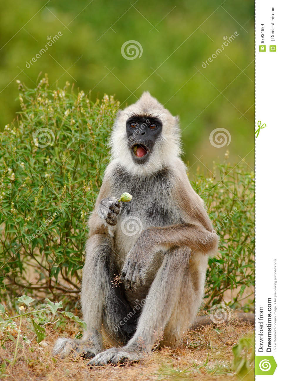 Grey Langur (Semnopithecus entellus) Common Langur | Flickr
