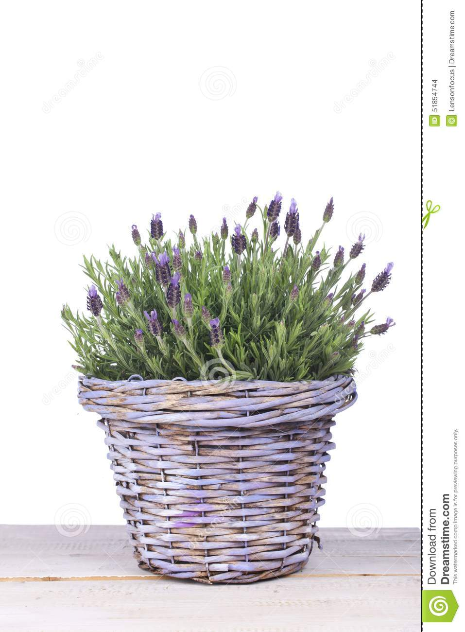 Common lavender plant in a lilac basket