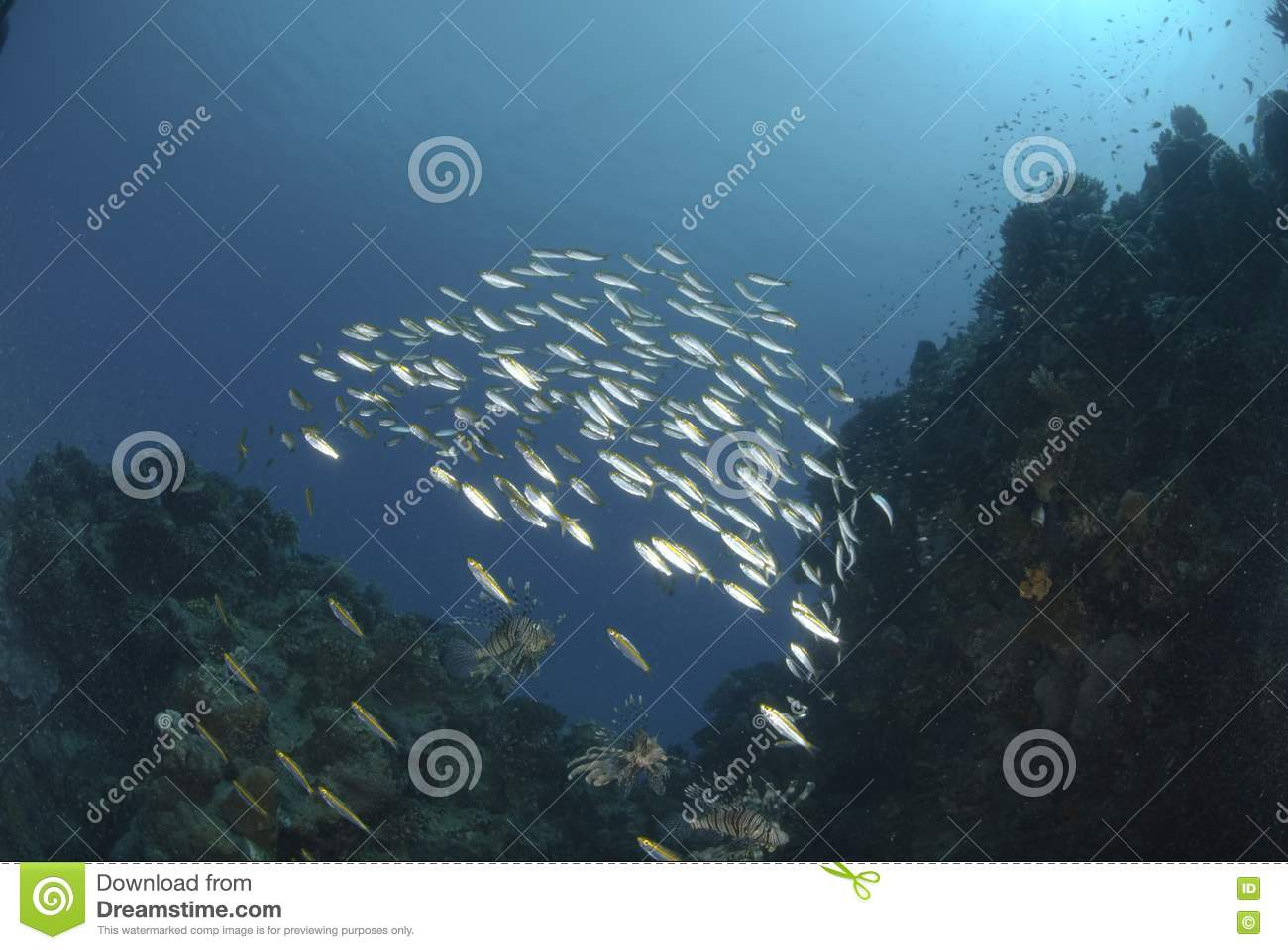 Common lionfish and school of small bait fish royalty free for School of fish lure