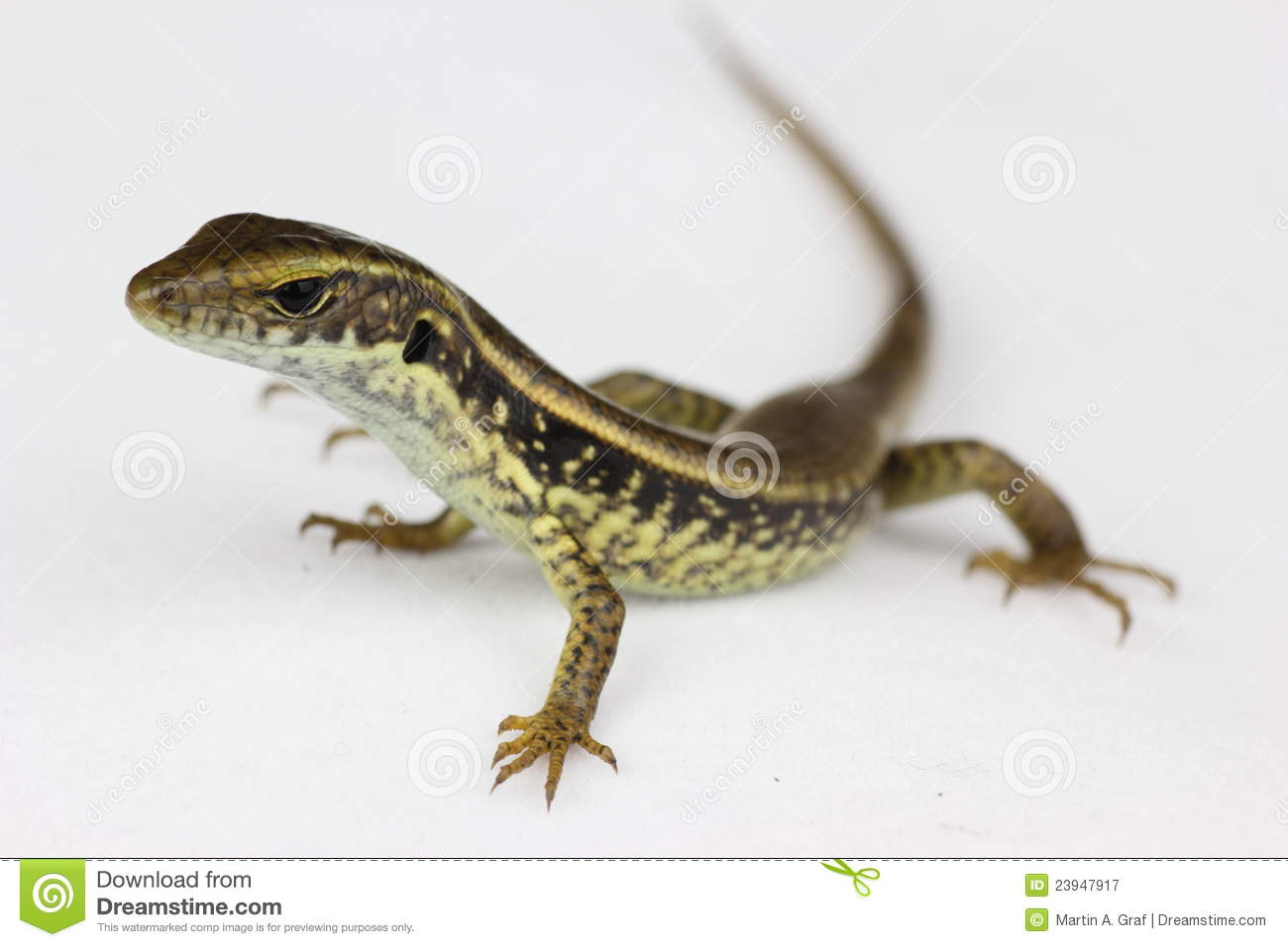 common lizard closeup royalty free stock photography