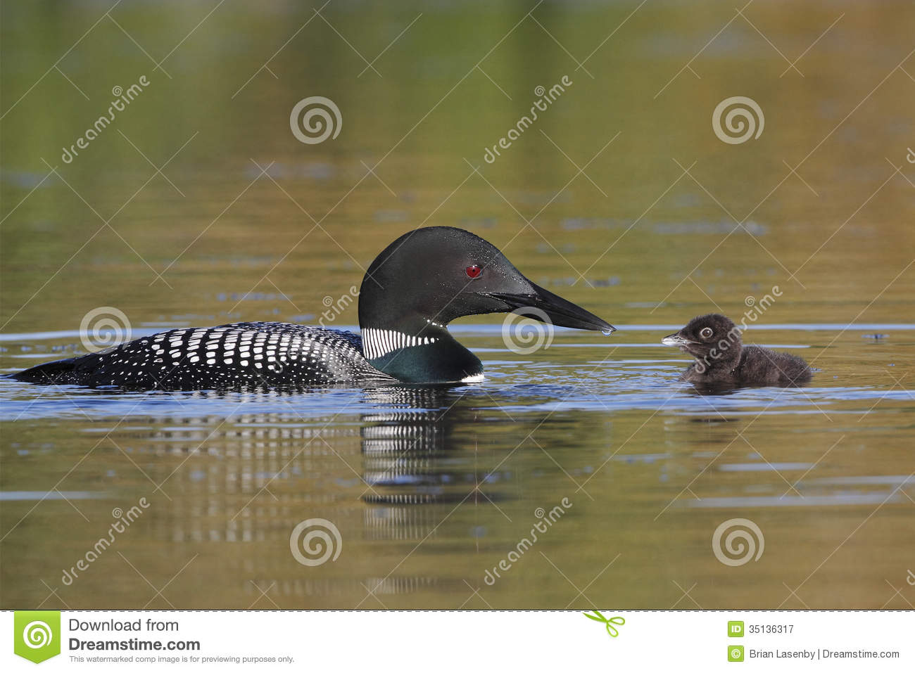 Common Loon Baby and Parent
