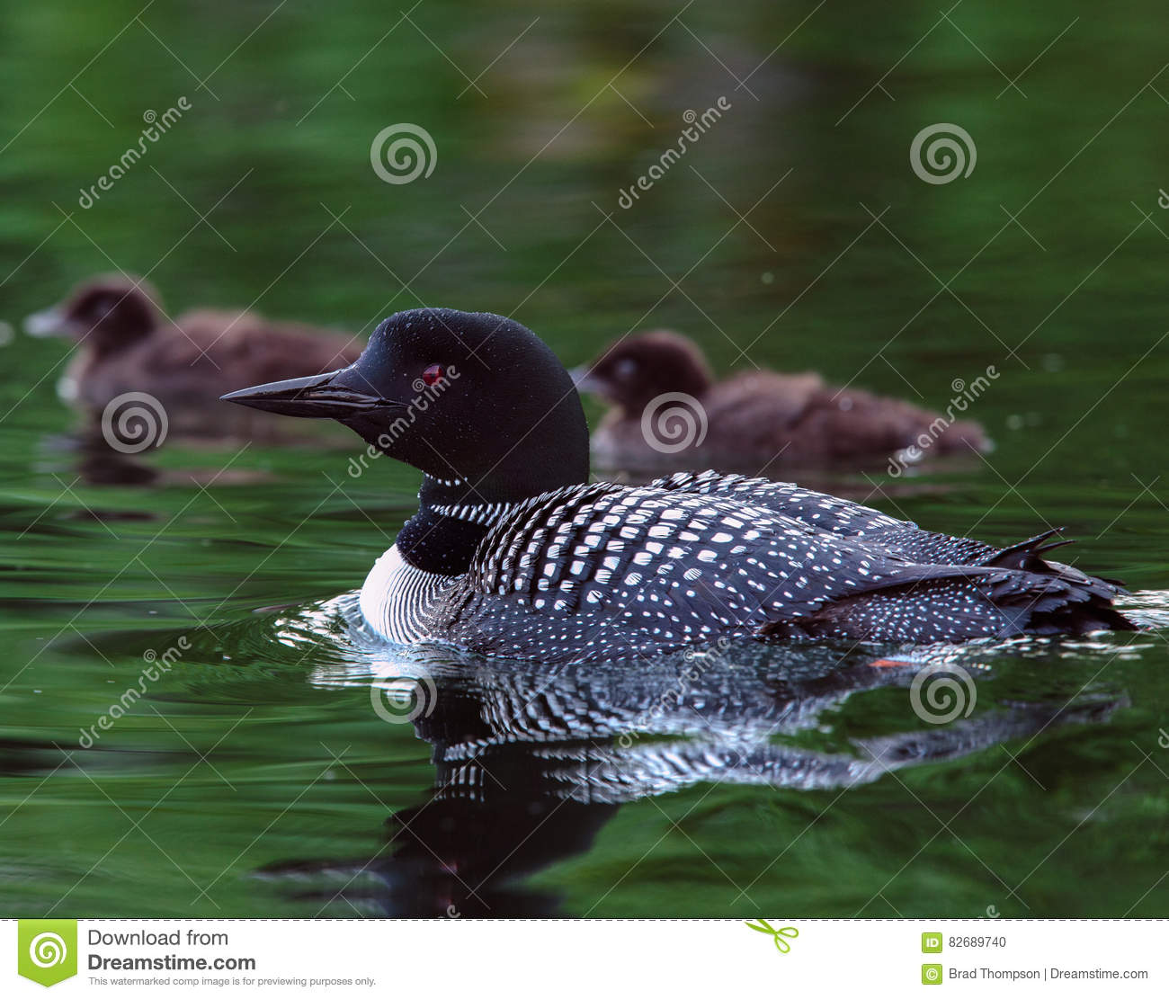Common Loon Gavia immer with two baby chicks