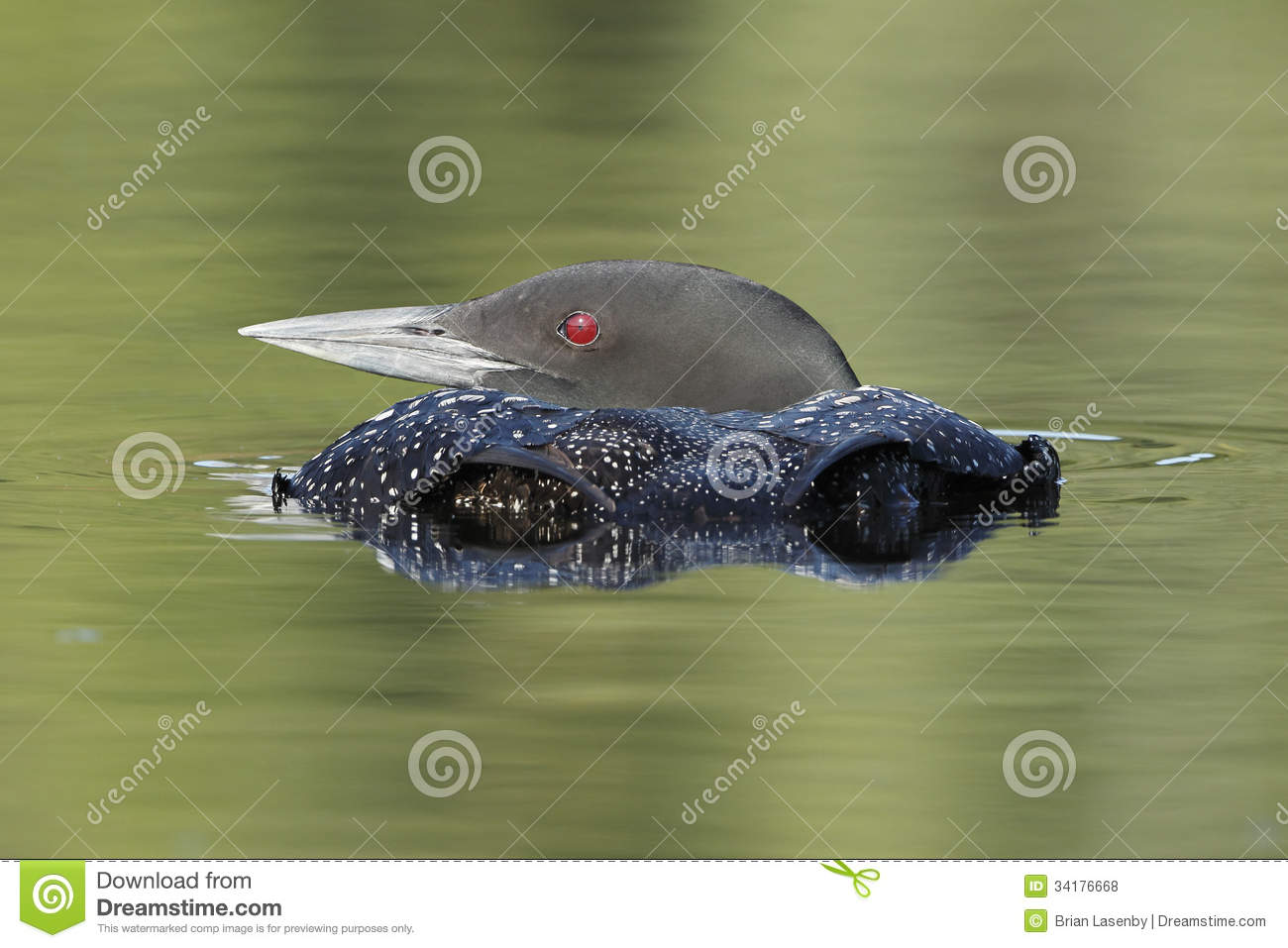 Common Loon Submerging