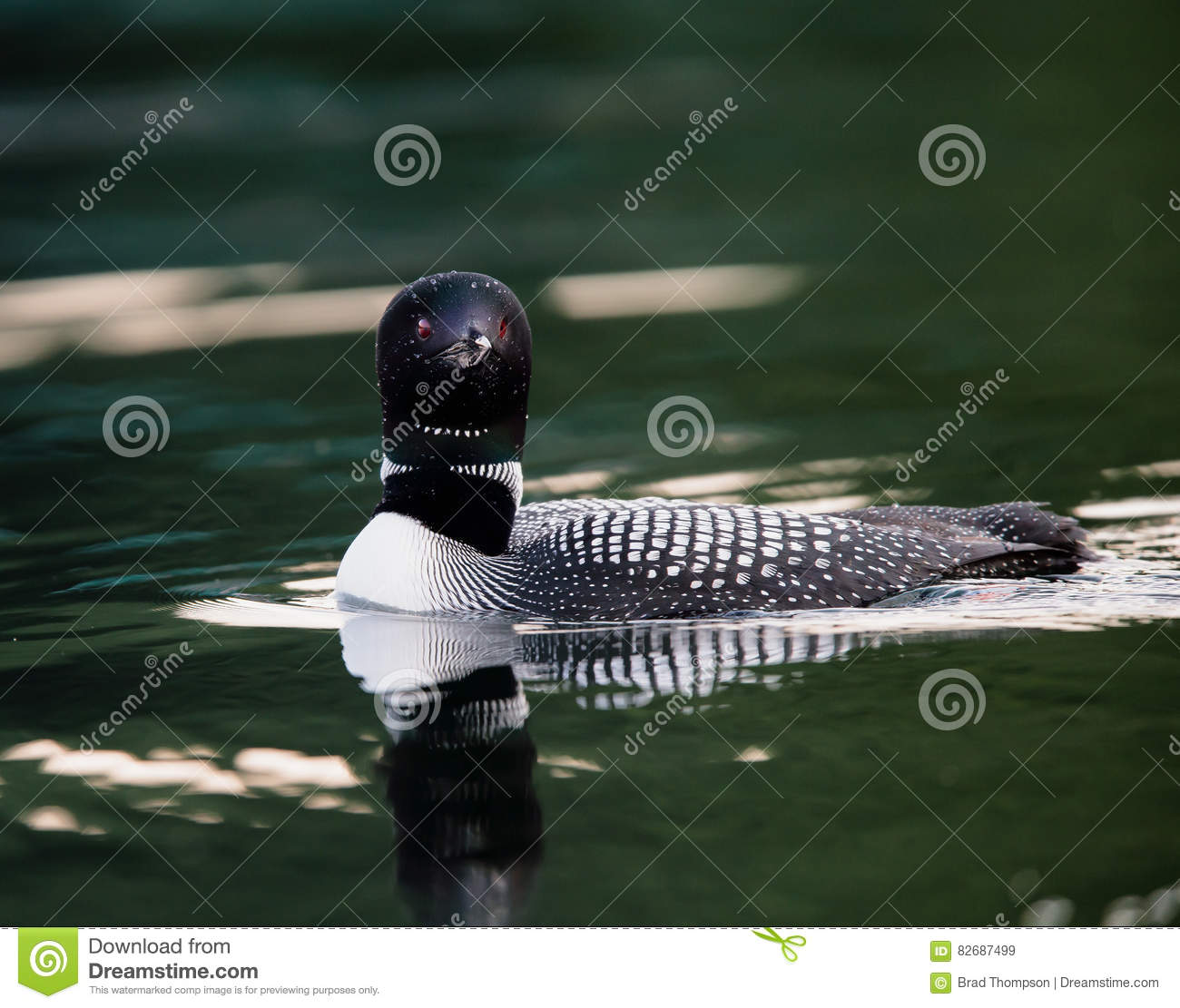 Common Loon Swimming with Reflection Gavia immer