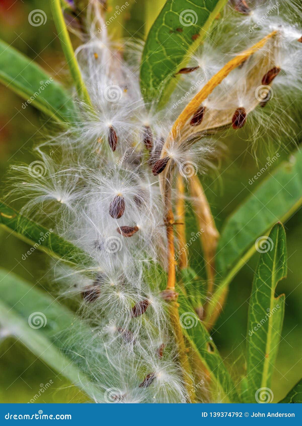 Common milkweed, butterfly flower
