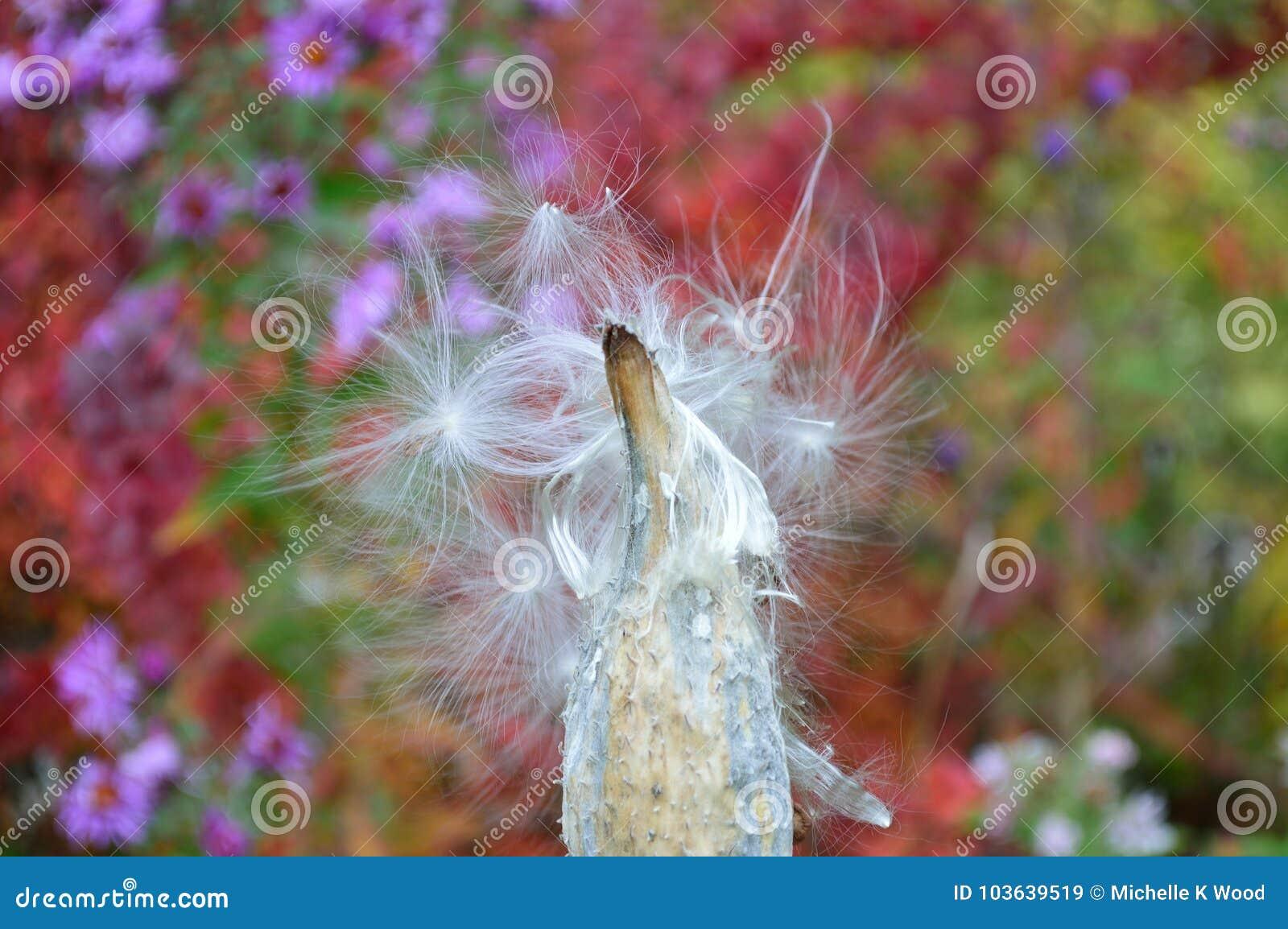 Common milkweed seed pod - follicle